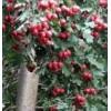 供应3-20公分山楂树、石榴树、樱桃树、枣树、桃树、核桃树